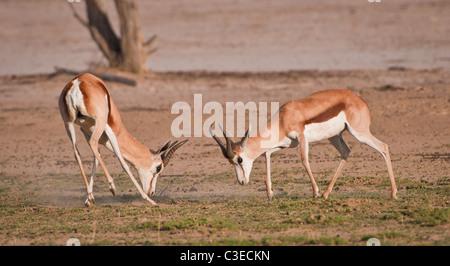 The Springbok (Afrikaans and Dutch: spring = jump; bok = antelope or goat) Antidorcas marsupialis - Stock Photo