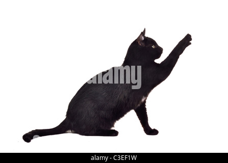 Black cat reaching up for toy and showing its claws isolated on white background - Stock Photo