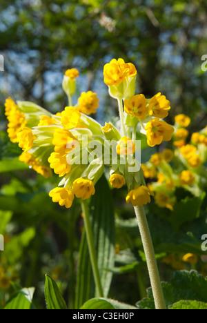 Cowslip, Primula veris - Stock Photo