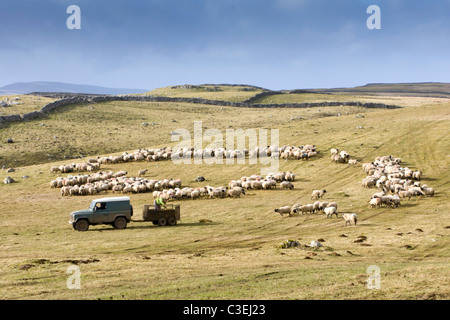 Sheep farming in Wharfedale Yorkshire UK - Stock Photo