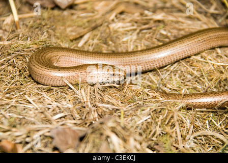 Slow Worm (Anguis fragilis) on a nature reserve in the Herefordshire countryside - Stock Photo