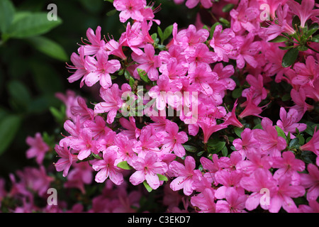 Close up of a beautiful pink Rhododendron flowering at  Westonbirt Arboretum, Gloucestershire - Stock Photo