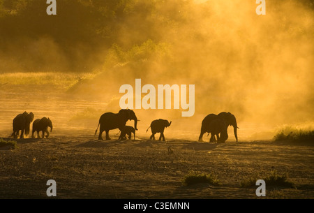 Affordable superb game viewing in the Kruger National Park, South Africa. Herd of elephants in Shingwedzi river - Stock Photo