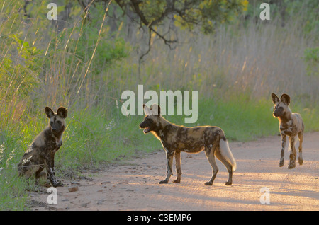 Affordable superb game viewing in the Kruger National Park, South Africa. African painted wild dogs in road, in - Stock Photo