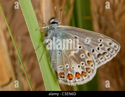 Common Blue Butterfly  Polyommatus icarus - Stock Photo