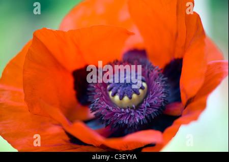 A single macro image of Papaver orientale   Red Oriental Poppy