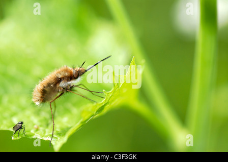 Macro of large bee (Bombylius major) on leaf with a little fly Stock Photo