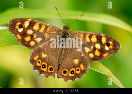 Macro speckled wood butterfly (Pararge aegeria) on grass - Stock Photo