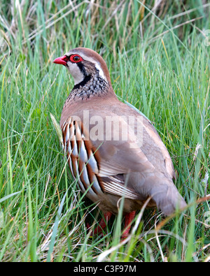Red Legged Partridge Alectoris rufa at rest in coastal grassland - Stock Photo