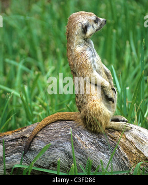 The meerkat or suricate Suricata suricatta, a small mammal, is a member of the mongoose family. - Stock Photo