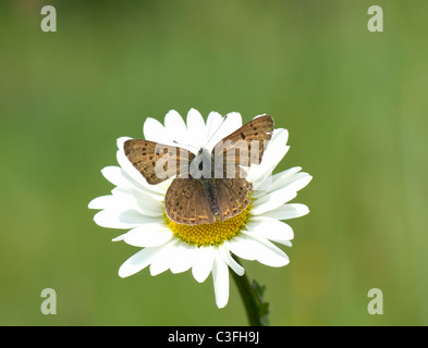 Purple-shot Copper (Heodes alciphron), France - Stock Photo