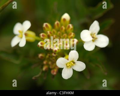 Water-cress, nasturtium officinale or rorippa nasturtium-aquaticum Stock Photo