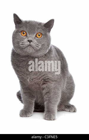 blue British Short hair cat in front of a white background - Stock Photo