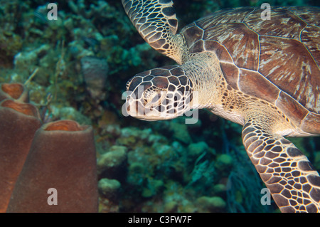 A green sea turtle swims over the reef looking for its' next meal. - Stock Photo