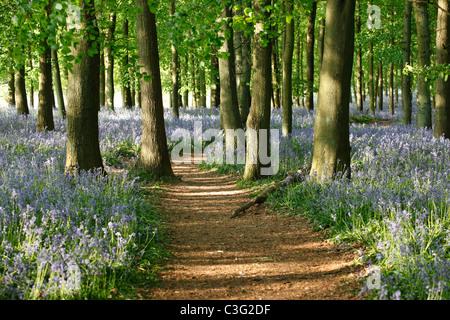 Bluebells and beech wood, woodland walk, England, UK - Stock Photo