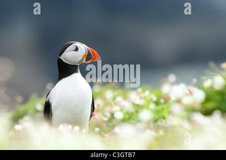 Atlantic Puffin (Fratercula arctica) adult, breeding season, magazine , cover, portrait, Skomer Island, Pembrokeshire, - Stock Photo