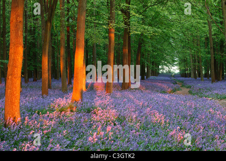 Bluebell Woods, England, UK, Sunlight casting shadows between trees - Stock Photo