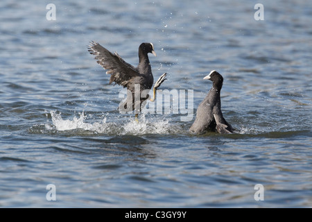 Coots (Fulica atra) fighting on lake - Stock Photo