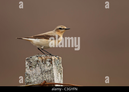 Northern Wheatear (Oenanthe oenanthe) perched on a lichen covered post in the Highlands of Scotland - Stock Photo