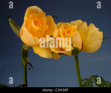 Couple of red roses - Stock Photo