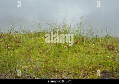 White Beak-sedge, rhynchospora alba - Stock Photo