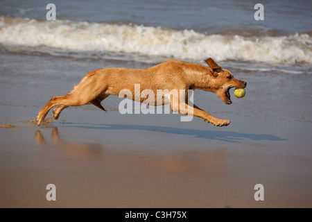Yellow Labrador playing with ball - Stock Photo