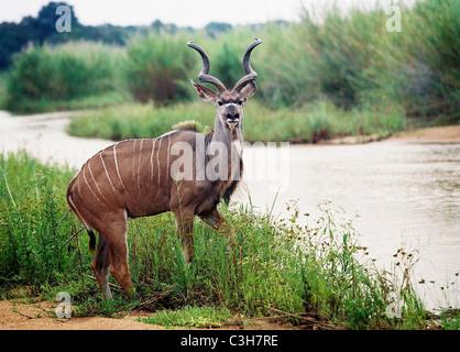 Greater kudu (Tragelaphus strepsiceros) Mala mala Kruger South Africa - Stock Photo