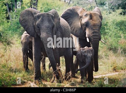 Herd of  African elephant Loxodonta africana  Mala mala Kruger South Africa - Stock Photo
