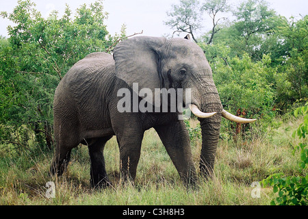 Male african elephant Loxodonta africana in must Mala mala Kruger South Africa - Stock Photo