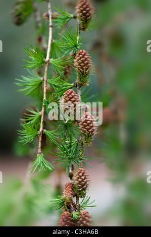Little cones of Larix decidua - European larch tree - Stock Photo