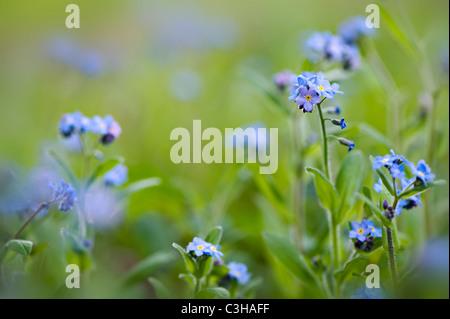Forget-me-not flowers - Myosotis sylvatica - Stock Photo