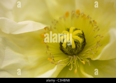 Mohn, Bluete, weiss, Papaver, Blossom, white, Insel Mainau, Deutschland, Germany - Stock Photo