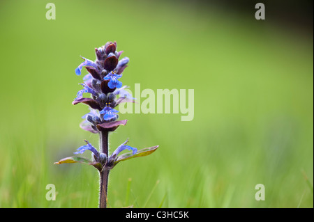 Ajuga reptans 'Catlin's Giant'. Bugle 'Catlin's Giant' - Stock Photo