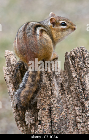 Eastern Chipmunk perched on tree stump Tamias striatus Eastern N America - Stock Photo
