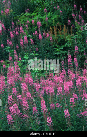 Stauden-Feuerkraut, Wald-Weidenroeschen, Epilobium angustifolium, Common Fireweed, Seward Highway, Alaska, USA - Stock Photo
