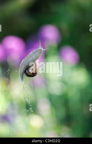Garden snail on greenhouse glass - Stock Photo