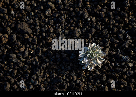 Small plant growing in the Cinder Hills of Sunset Crater Volcano National Monument, Arizona, USA. - Stock Photo