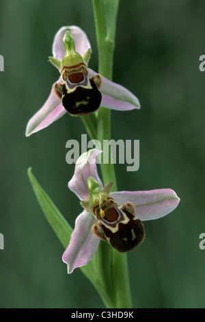 Bienen-Ragwurz, Ophrys apifera, Bee Orchid, Alpillen, Suedfrankreich, South France - Stock Photo