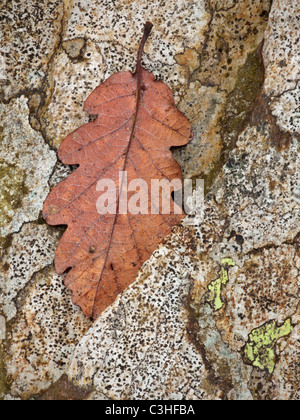 Single leaf sits atop a lichen-covered stone wall in the Lake District - Stock Photo
