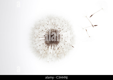 Dandelion on white with seeds blowing away - Stock Photo