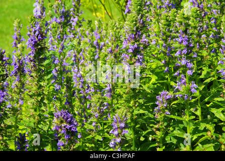 Guensel - Blue bugle 02 - Stock Photo