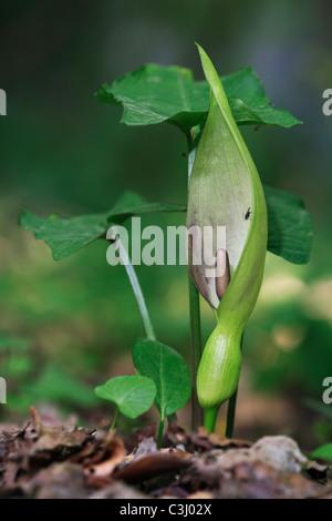 Gefleckter Aronstab, Arum maculatum, Lords-and-ladies, cuckoo pint - Stock Photo