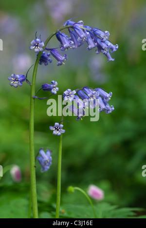 Hasengloeckchen, Scilla non-scripta, Endymion nonscriptus, Common Bluebell - Stock Photo