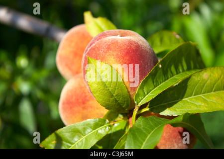 Peach on tree - Stock Photo