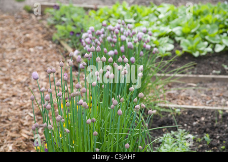 Chive plant flowering on allotment - Stock Photo