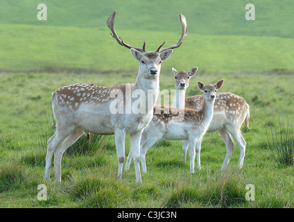Small family of Fallow Deer in the Forest of Bowland, North West England - Stock Photo