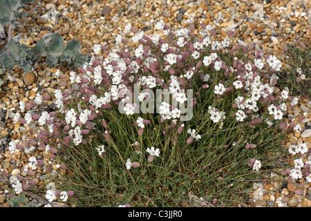 Flowering clump of sea campion (Silene maritima) on shingle at Chesil Beach in Dorset - Stock Photo