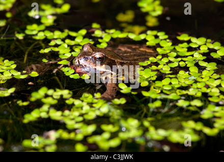 Frog camouflaged under pond weed in English garden pond - Stock Photo