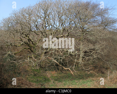 European oak (Quercus robur) leafless old tree with lichen covered branches in early spring - Stock Photo
