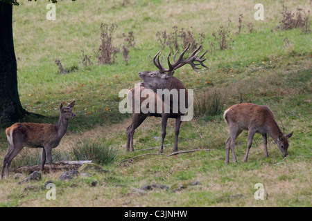 Rothirsch waehrend der Brunft, Cervus elaphus, Red deer, male, rutting - Stock Photo